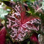The Caladium Project