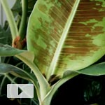 New Banana Leaf Timelapse