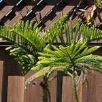 The Story of My Norfolk Island Pine
