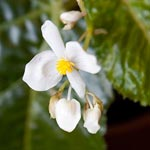 Begonia Bloom