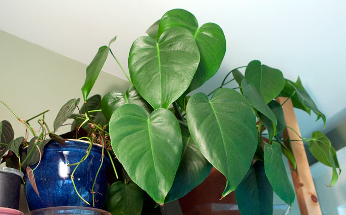 plantgasm the story of my monstera deliciosa. Black Bedroom Furniture Sets. Home Design Ideas