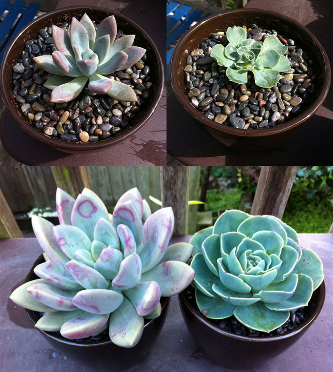 top 28 how big do succulents grow how big do succulents grow succulents by jmo cactus. Black Bedroom Furniture Sets. Home Design Ideas