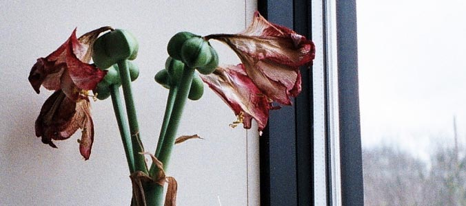 Impregnated Amaryllis by jesshibb on Flickr