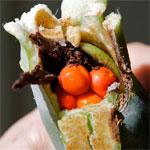 Planting Alocasia Berries
