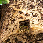 Crinum moorei, Most Potbound Plant Ever