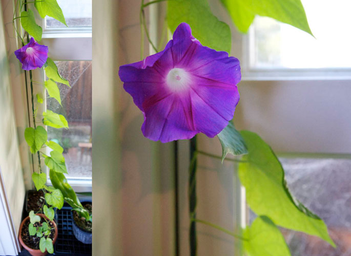 ipomoea purpurea
