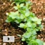Vegetable Garden Timelapse