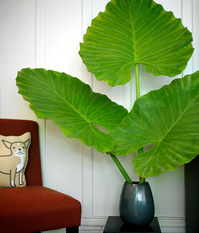 alocasia leaves