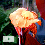 Canna Bloom Timelapse