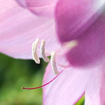 Stunning Crinum moorei Bloom