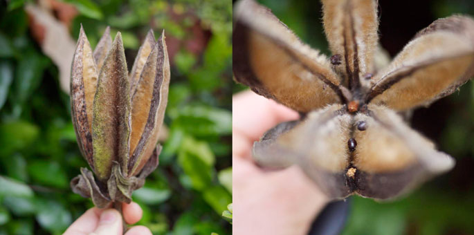 devil's hand tree seeds