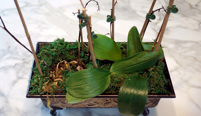 Plantgasm Orchid Emergency