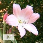 Crinum moorei Bloom Timelapse