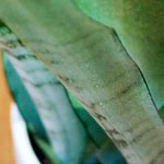 Ideal Office Plants: Sansevieria trifasciata &#8216;Moonshine&#8217;