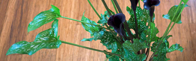 zantedeschia-leaf