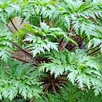 A Plant I Love: Gigantic Geranium maderense