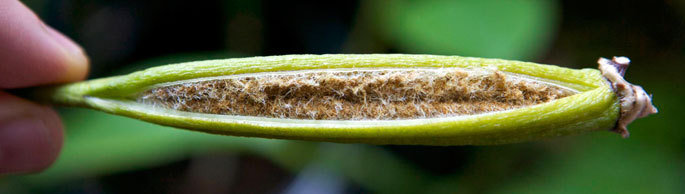 Phalaenopsis Seed Pod Open