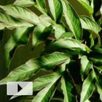Amorphophallus henryi's Hypnotic Leaf Dance