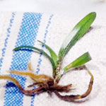 Paphiopedilum Seedlings from Troy Meyers