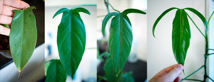 Philodendron Leaf Evolution