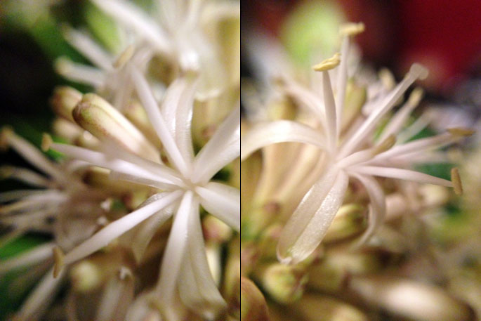 dracaena-closeup