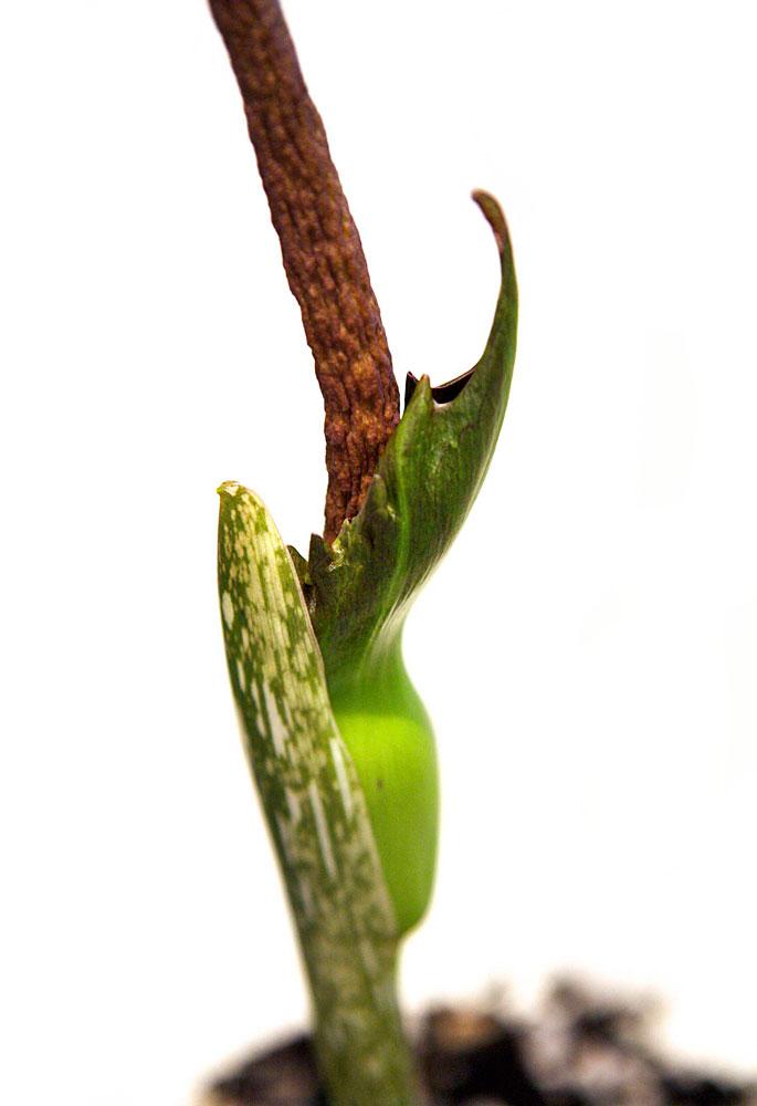Amorphophallus henryi flower