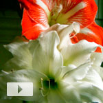 Amaryllis Triple Play