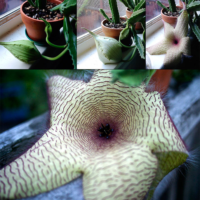 stapelia-bloom